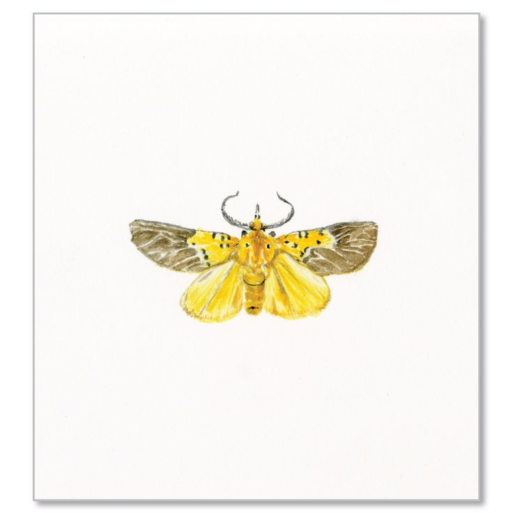 Specious Tiger Moth by Jessica Bosworth Smith Watercolour H210mm x W150mm R800 © Jessica Bosworth Smith
