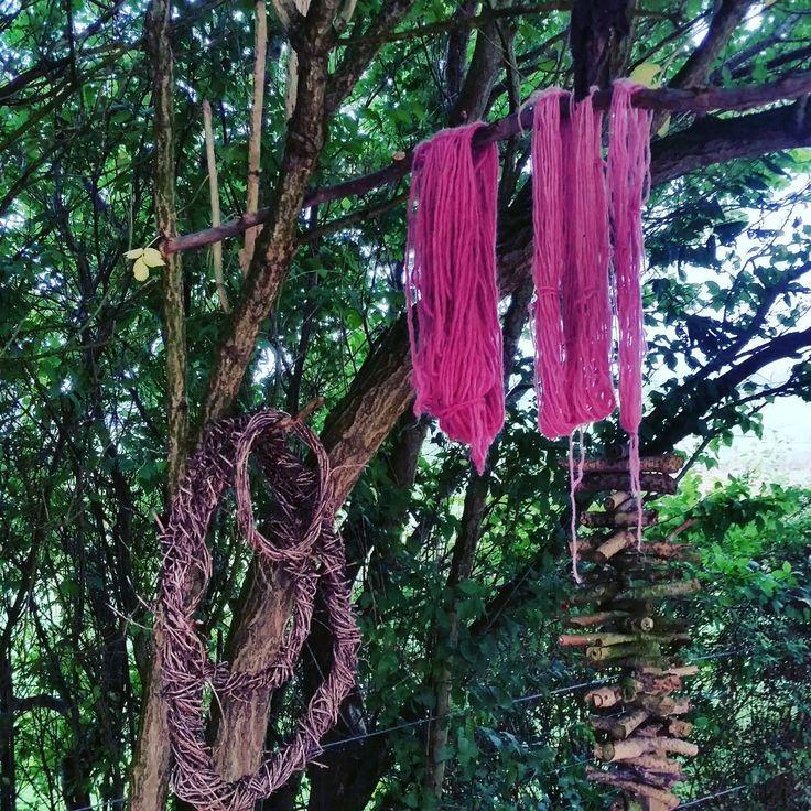 Instagram photo 2016-09-10 07:28:22 Hyldebærfarvet garn hænger til tørre… Elderberry dyed yarn hanging to dry.. #ecodying#solardyeing#woolyarn #solardyeingwool#solfarvning #plantefarver #plantdyed#plantdying #plantefarvning #pagantree #kirstenk #alun #alum #bjoernemor #bjørnemor #pink #lyserød