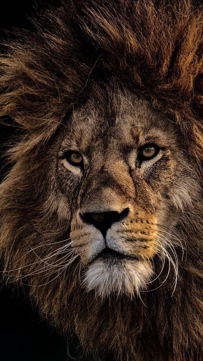 Black Lion Wallpapers Background Hupages Download Iphone Wallpapers Lion Wallpaper Lion Pictures Black Lion