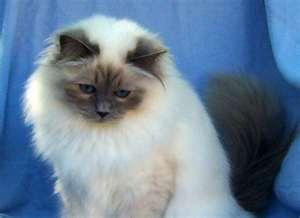 Birman Kittens For Sale Nj 1000+ ideas abo...