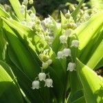 lily-of-the-valley-flowers