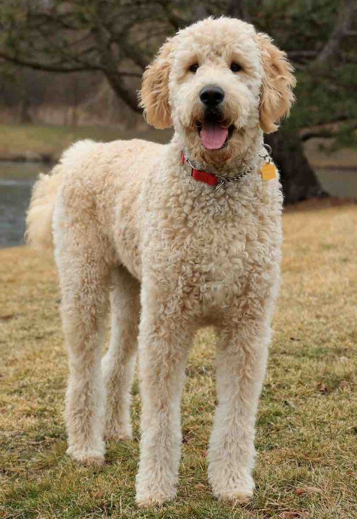 Pin by dog_life on Goldendoodle Goldendoodle