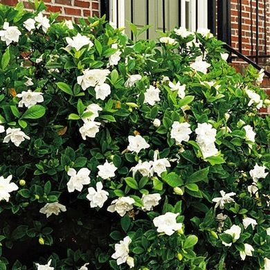 Gardenias are pretty to look at and wonderful to smell