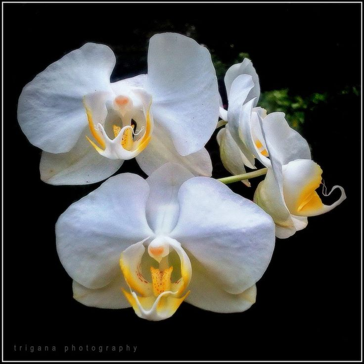 Phalaenopsis amabilis (species)