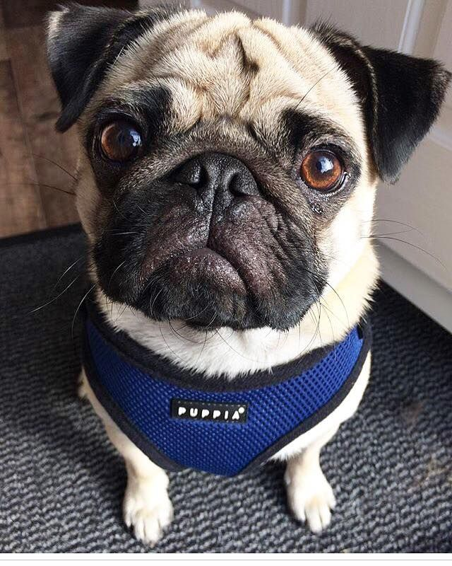 Navy Blue Puppia Soft Harness Available At Www Ilovepugs Co Uk