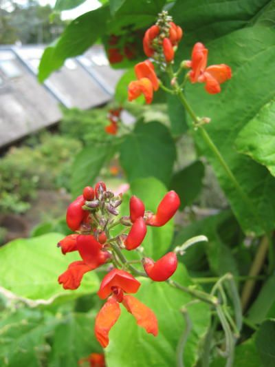 Magic beans! How to grow *runners successfully ~ *Scarlet Runner Beans - although there's also white runners too