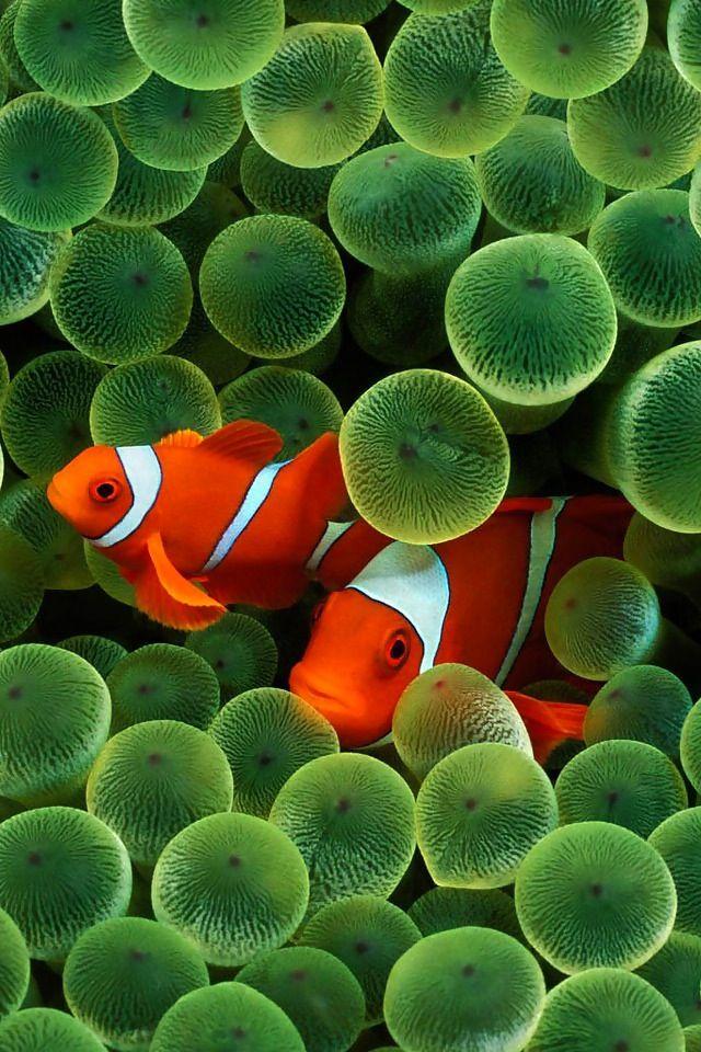 MaroonClownfish.jpg (2307?1719) | clownfish | Pinterest ...