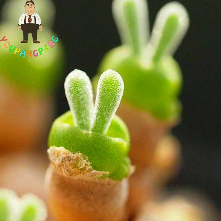 A Pack 100 Graines Succulents Seeds Indoor Rabbit Shape Lithops Seeds Bonsai Japanese Cactus Sementes Garden Succulents For Sale