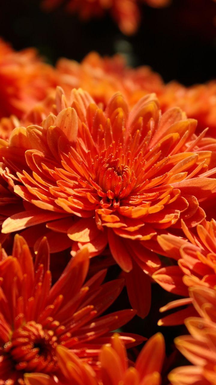 Orange Chrysanthemum Flowers Bloom 720x1280 Wallpaper Flower Wallpaper Chrysanthemum Chrysanthemum Flower