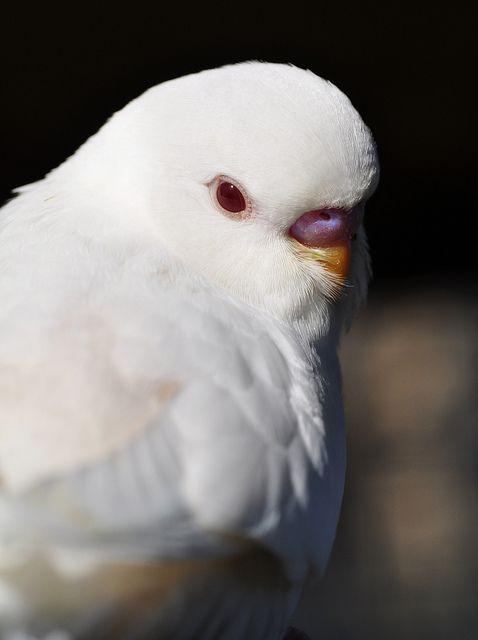 White Parakeet #Birds
