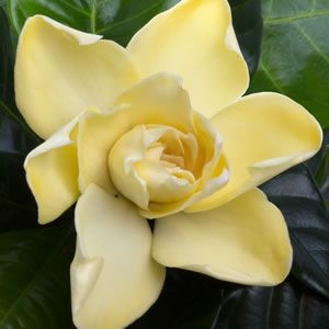 Gardenia jasinoides  Fragrant white flowers that turn golden yellow as they age. Gold Magic is ideal as a specimen plant or planted as a hedge flowering in summer and autumn. Plant them in a protected position against a wall in cooler areas as they are frost tender.<br%2...