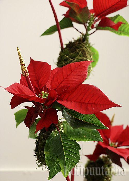 Ilmava asetelma joulutähdistä.