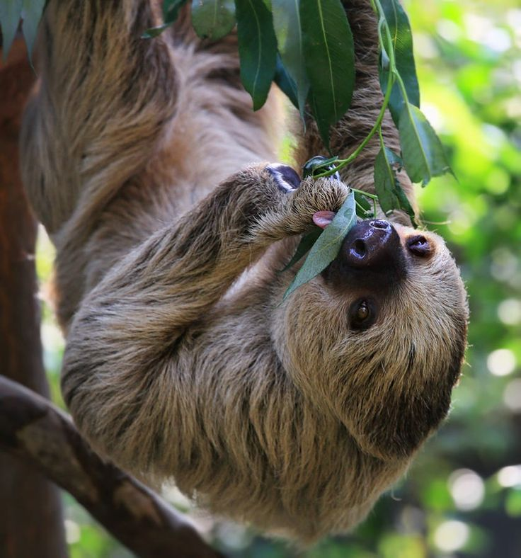 Two-toed Sloth by Klaus Wiese on 500px