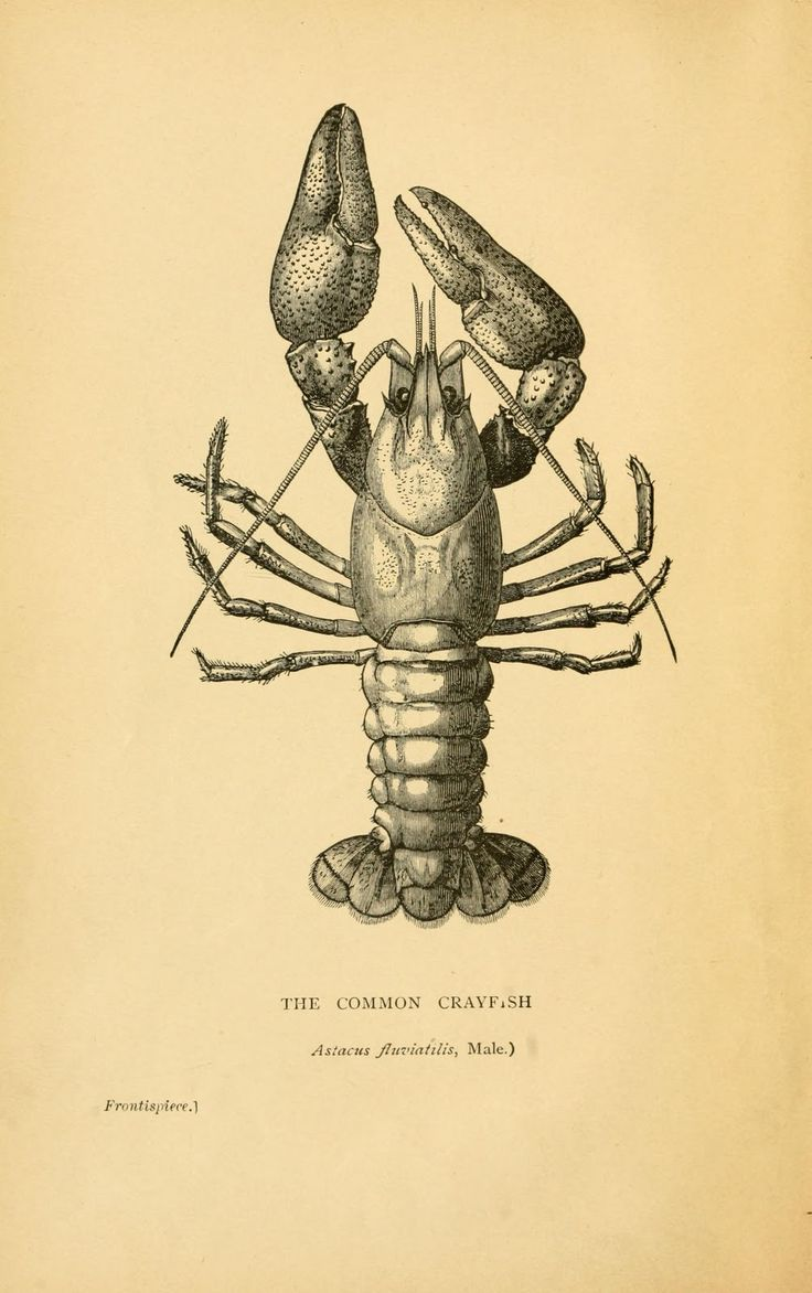 Book illustration, male Crayfish, 1895 Whenever I see this I think of camp!!