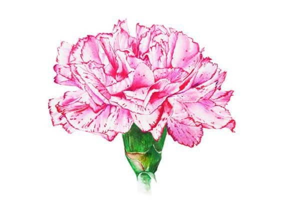 Pink Carnation Botanical Art Watercolor Painting Floral Design