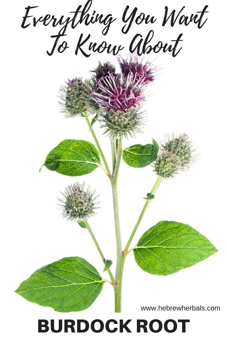 Get to know the humble burdock root, a plant you may have already overlooked in your own backyard! It's great for so many purposes, you are sure to want this in your home apothecary! hebrewherbals.com