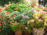 Growing and Caring for Zonal Geraniums (Pelargonium x hortorum)