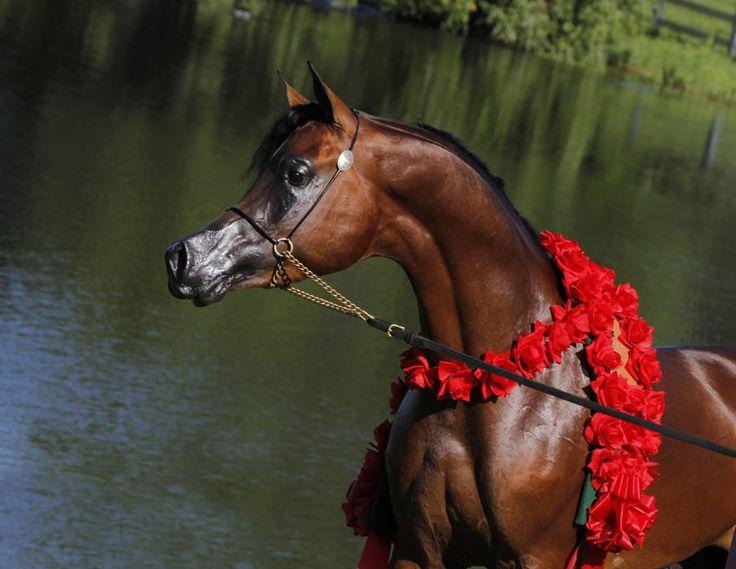 champion arabian horses | AAS Elishahh :: Fazenda Floresta ~ Beautiful Arabian Horses