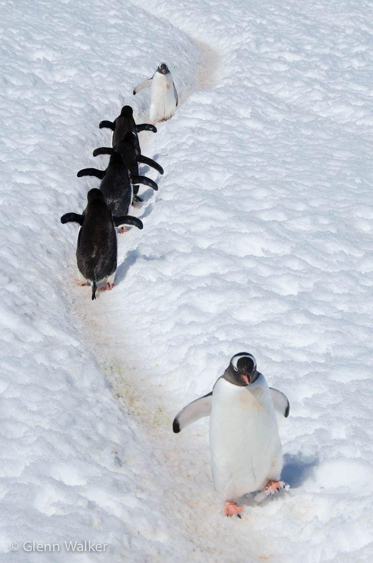 """""""Penguin traffic"""" - photo by Glenn Walker"""