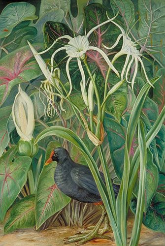 Marianne North Gallery : Painting 458 : A Swamp Plant And Moorhen,  Seychelles A Very Inspired Lady And Fantastic Collection At Kew Gardens.