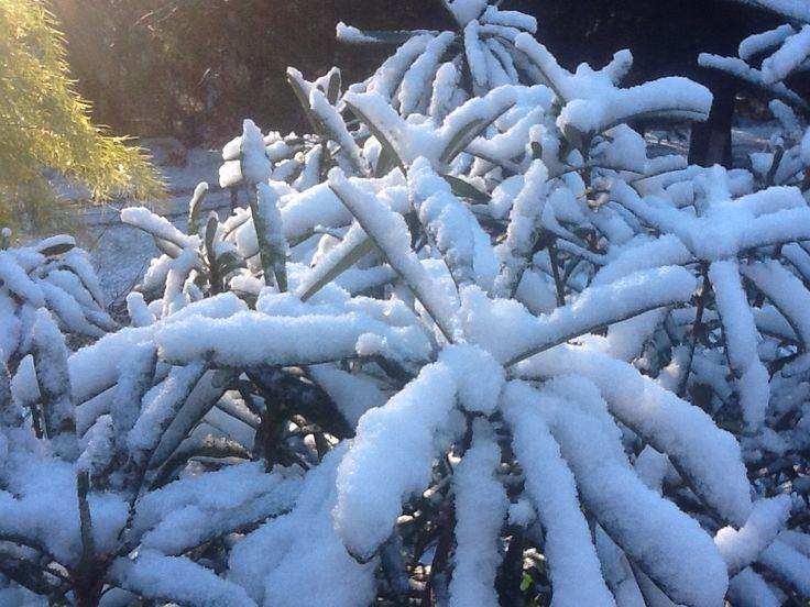 Snow on the waratah