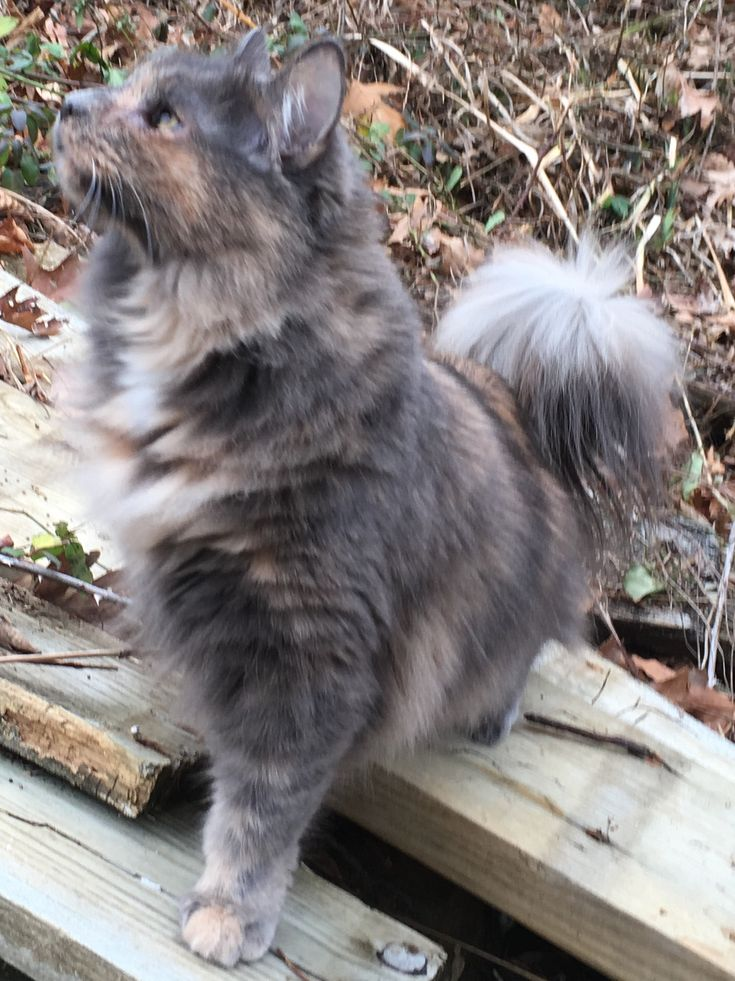 Pin on My kitty Maine Coon dilute calico mix