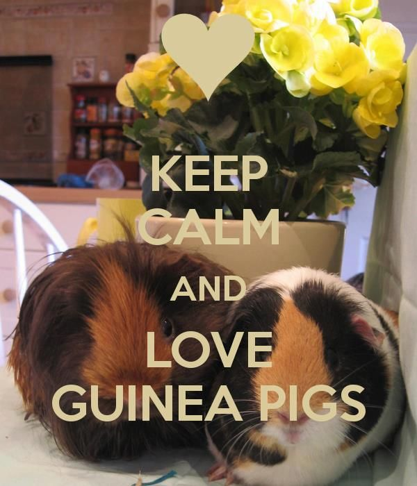 Love Guinea Pigs! Awesome! The one on the right kinda looks like Gypsy!