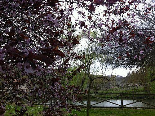 Alberi fioriti, un laghetto, le vigne sullo sfondo. Cosa volete di più. #TenutaValdipiatta #Montepulciano #Tuscany (+ www.valdipiatta.it)