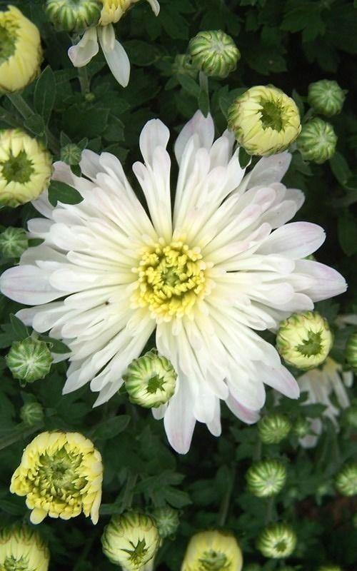 Chrysanthemum morifolium 'Aluga White'