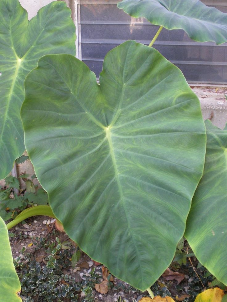 Elephant ear plants are a fun and dramatic feature to add to your garden but they are not cold hardy. That said, you can dig up and store elephant ear bulbs for the winter. This article can help with that.