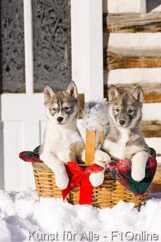Snowbank, Siberianer Schlittenhund, Schmiegsam, An sich geschmiegt