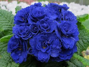 Primula (Primrose)  Belarina 'Cobalt Blue' has highly fragrant double blooms in late winter and early spring.