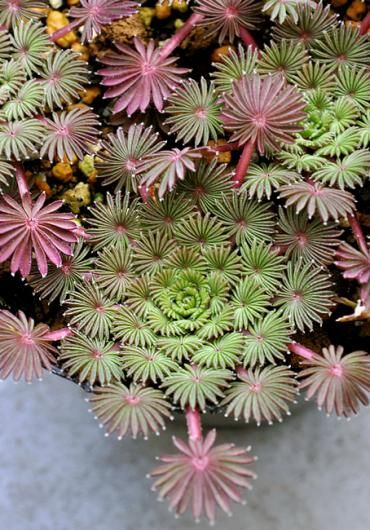 Oxalis palmifrons hails from the deserts of South Africa. This oxalis looks like a giant green snowflake. Zone 7 - 10 Each symmetrical rosette has three dimensional, miniature palm-like leaves.In late fall it is topped with stalks of light pink flowers held just above the foliage. Oxalis palmifrons makes a great windowsill plant.