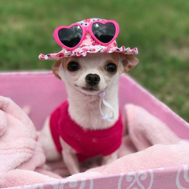 картинка смешные фото с собакой чихуахуа духовке, чтобы