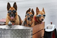 17.04.2013   Trio of dogs hit the open road in a sidecar attached to owners motorcycle in Australia