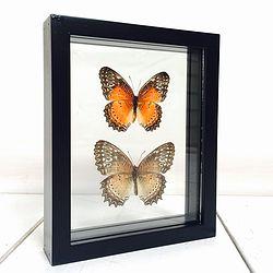Vlinder in lijst Cethosia Biblis Paar. Deze verfijnde lijst met dubbel glas bevat een uit China afkomstig Cethosia Biblis paar.