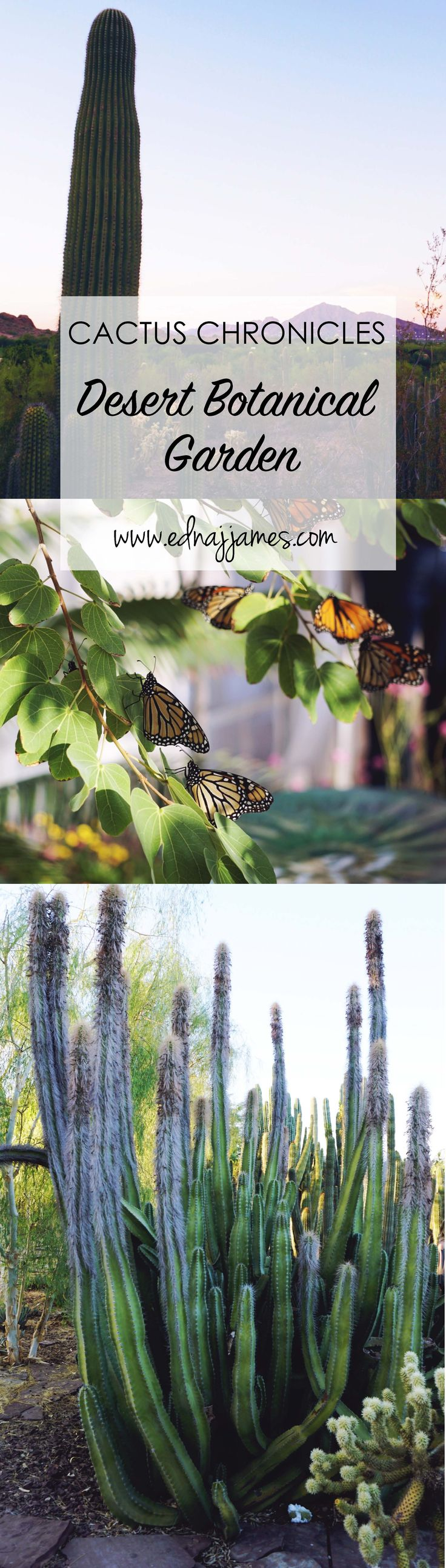 CACTUS CHRONICLES- Desert Botanical Garden!  We talk about one of our favorite places to visit in AZ!  http://www.ednajjames.com/cactus-chronicles-desert-botanical-gardens-butterflys/