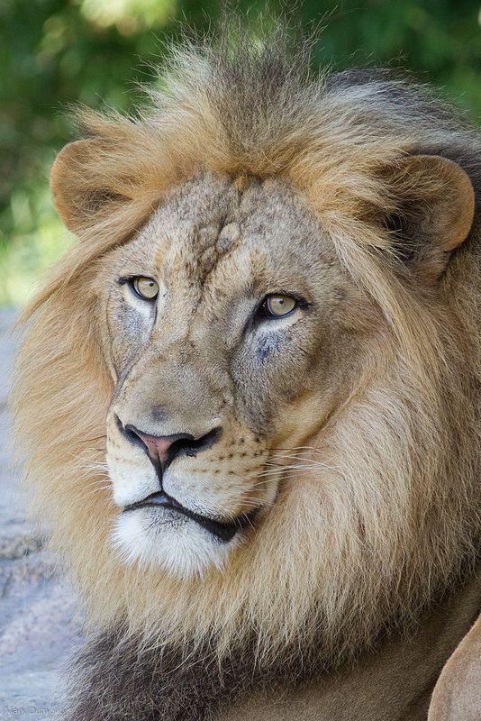 John the African Lion