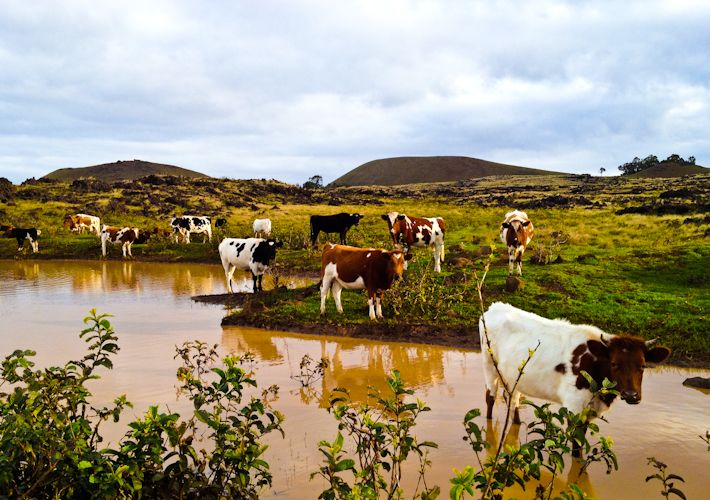 The cows of Easter Island!