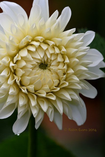 ~~Opening | Brookside Snowball Dahlia - An elegant ball dahlia with no hints of another color in the petals to detract from the brilliant white blooms | by Robin Evans~~