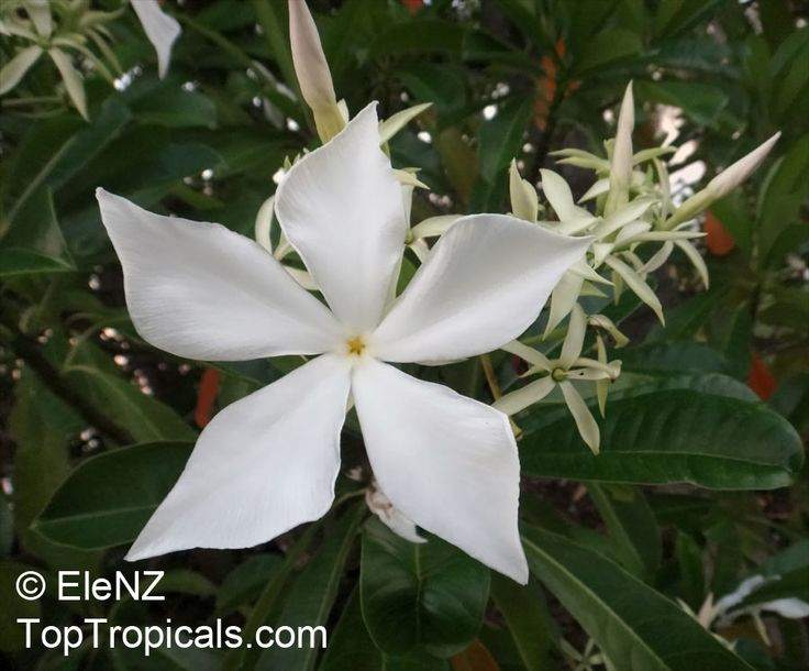This plant (Cerbera odollam) is highly poisonous (its seeds) and is used in making rat poison in India. Description from toptropicals.com. I searched for this on bing.com/images