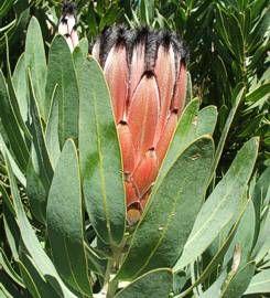 Protea Laurifolia foliage flower bud       Laurel Protea       Louriersuikerbos     6-8m        S A no 90,2