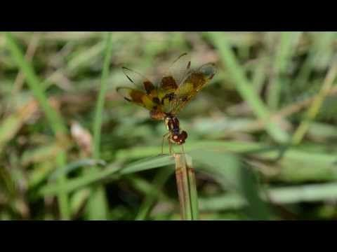 Video of dragonfly wing movement. Dragonfly Facts and Symbolism | Owlcation