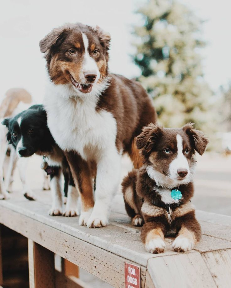 1 539 Likes 83 Comments Kiba The Aussie Kiba Aussie On Instagram Woofin Around On Agility Obstacles At Australian Shepherd Aussie Dogs Aussie Shepherd
