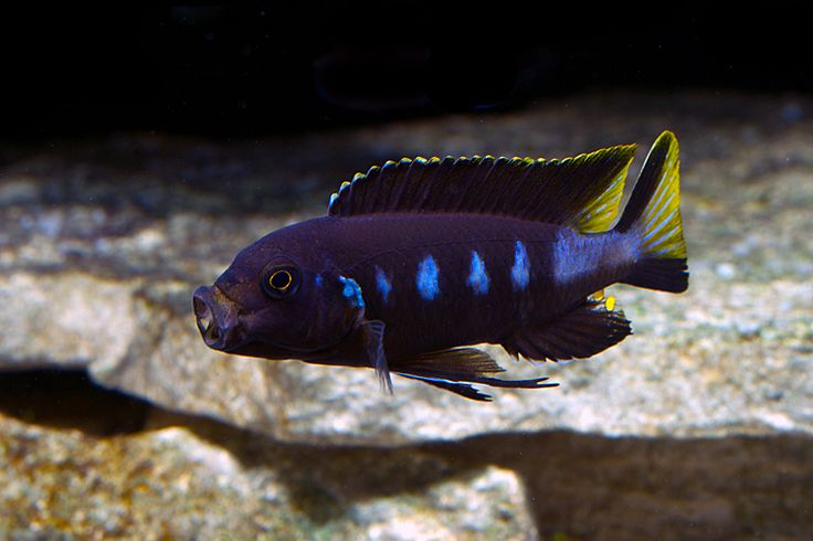 436 best images about african cichlids on pinterest for Koi fry pool