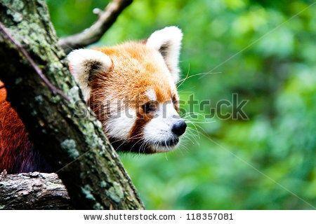 Photos Red pandas and Pandas on Pinterest