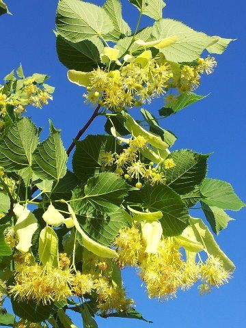 Les fleurs de tilleul, l'arbre roi des Baronnies