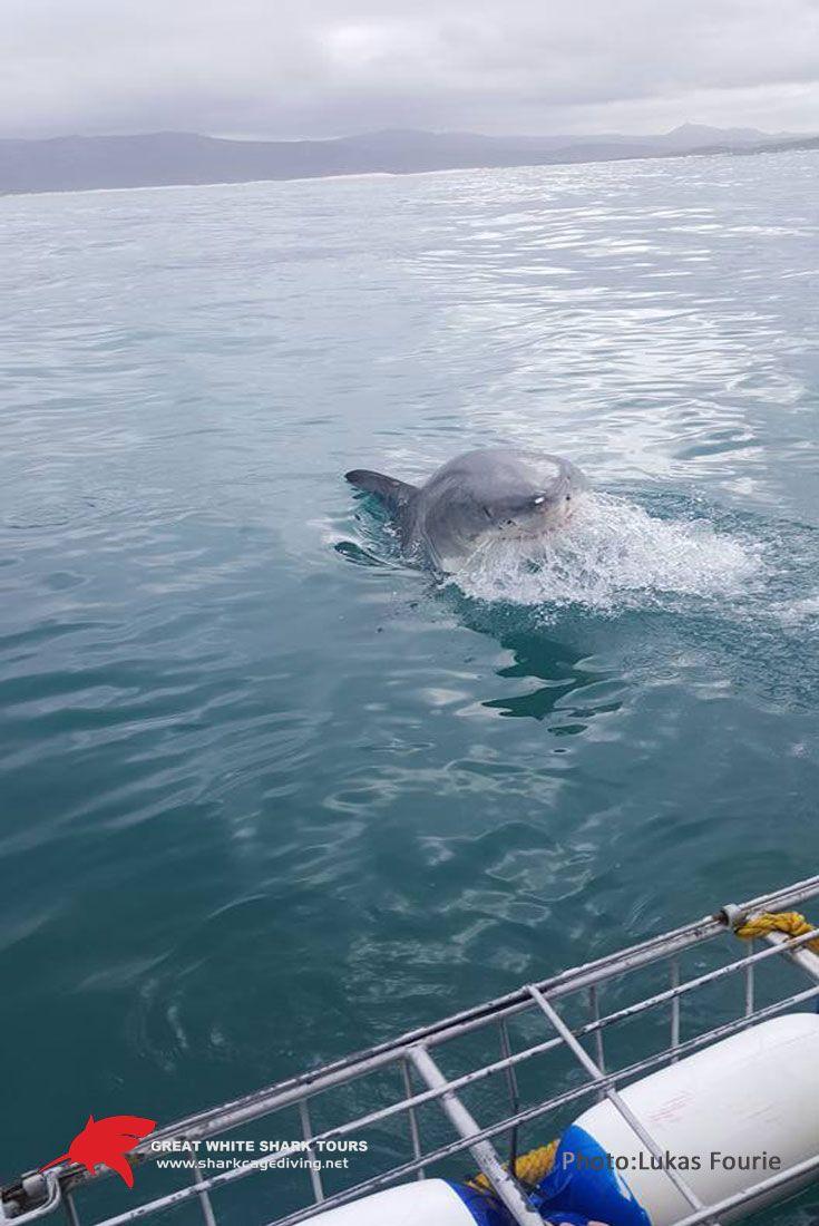 4.5 meter colossal Great White Shark in Gansbaai.  www.sharkcagediving,net