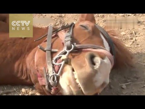 Drama horse pretends to be dead to get out of working | Horse Collaborative  Dramatic horse is dramatic