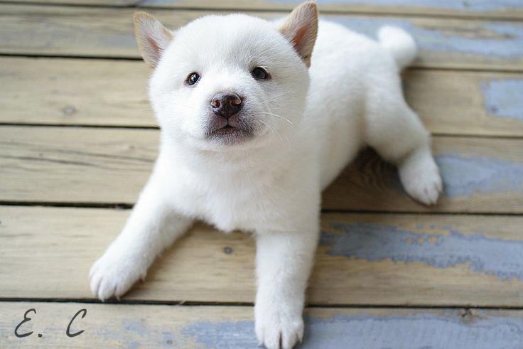 White Shiba Inu Puppy | by aplacewherepigeonsgather